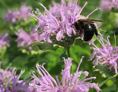 Native Pollinators need you