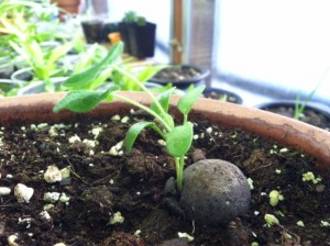 A seedling emerges from a seed ball.