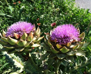 Artichokes grow along Gaillardia in my free-spirited road-side garden.