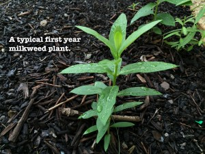 A first year <em>Asclepias incarnata</em> plant (Swamp Milkweed) will have to wait another two years before it's blushing vivid pink with nectar-rich flowers.
