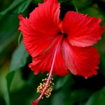 The Red Hibiscus is frequently used in love potions; it's associated with good fortune and passionate love.