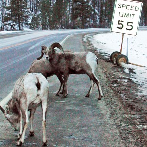 Bighorn Sheep licking road salt. USDA image.