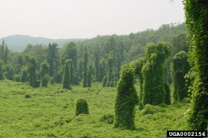 Kudzu is devastating. Its seeds can live for many years in the soil before germinating.