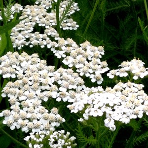 Yarrow is great for wildflower seed balls