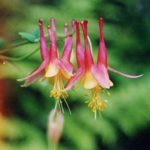 Eastern Columbine is great for wildflower seed balls