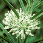 Milkweed is great for wildflower seed balls