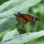 A Monarch lays an egg on Common Milkweed (Asclepias syriaca)