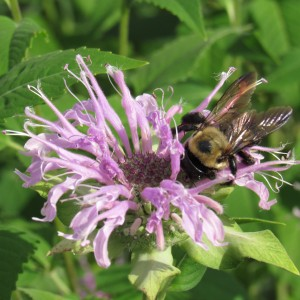 Monarda is great for wildflower seed balls