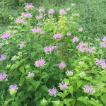 Wild Bergamot is great for wildflower seed balls