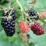 Wild Blackberry is great for wildflower seed balls