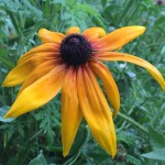 Black-Eyed Susans is great for wildflower seed balls