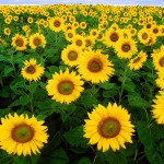 Sunflower is great for wildflower seed balls