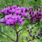 Ironweed is great for wildflower seed balls