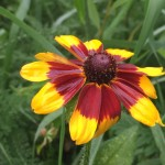 Gloriosa Daisy is great for wildflower seed balls