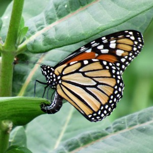 A monarch lays eggs on a second year milkweed plant.