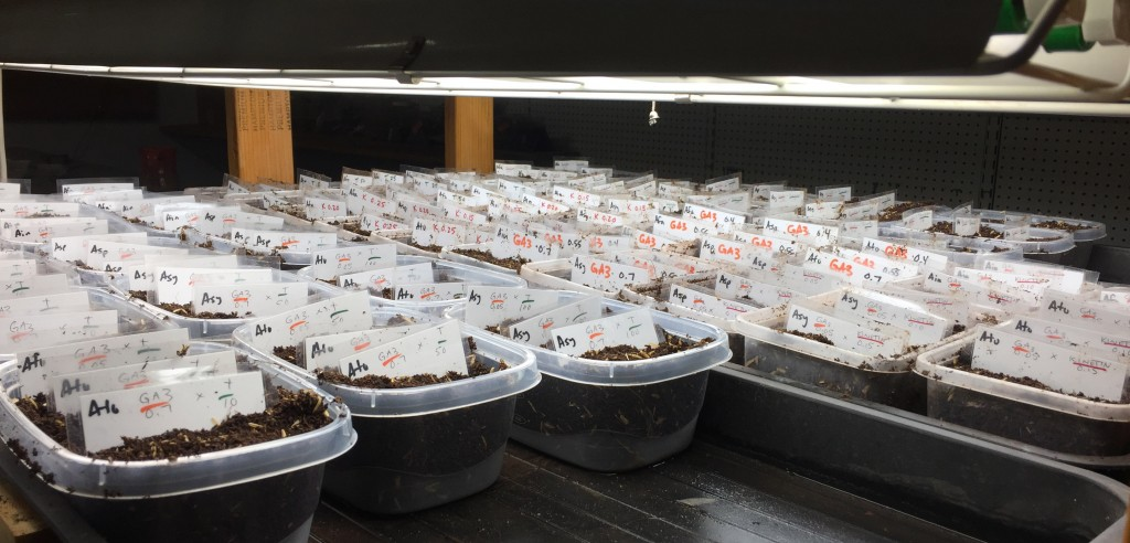 An experimental tray in out lab with hundreds of tests of plant hormones on Asclepias species.